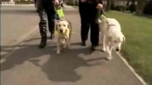 Blind Guide Dog